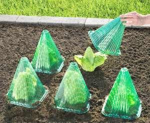 salat-schutz-vor-schaedlingsbefall